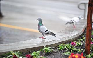 鴿子叼走士兵之墓獻花 澳洲紀念館內築愛巢