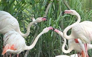"""台北市立动物园内的大红鹤正值发情期,在情敌遍布的鸟群间,总会无预警的发生争吵,还会伸长脖子作势攻击,让保育员大叹""""真是吵翻天""""。(台北市立动物园提供)"""