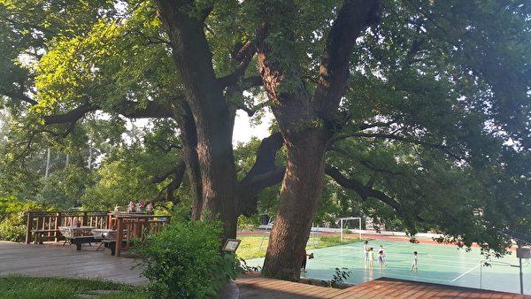 小朋友在長有五層樓高的百歲楓香樹旁操場活動顯得渺小。(林寶雲/大紀元)
