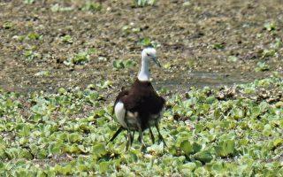 援中港湿地累积吸引52只水雉现踪,成为高雄市最大水雉栖地。(高雄市政府养工处提供)