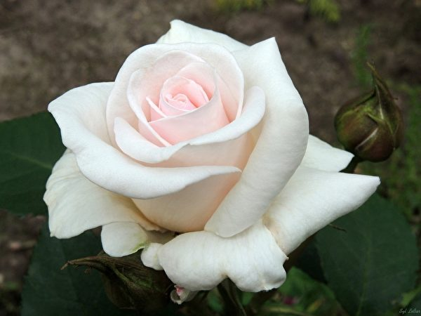 植物释放花香的过程不是简单的物理现象。 (Syl Lebar/大纪元)