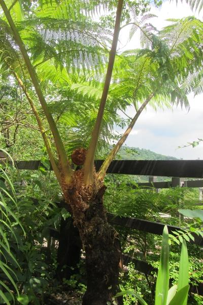 树蕨在世界上被列为二级保护植物。(林宝云/大纪元)