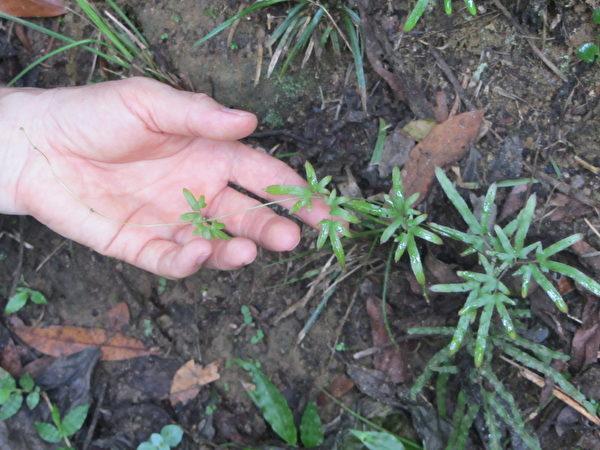 海金沙被称为是世界上叶子最长的植物。(林宝云/大纪元)