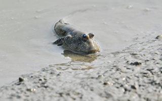 援中港湿地公园生态丰富,潮间带可见各式招潮蟹(图)、弹涂鱼(图)等生物。(高市工务局养工处提供)