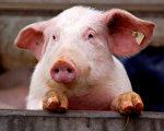 投生为猪 竟是因为偷了母亲的钱