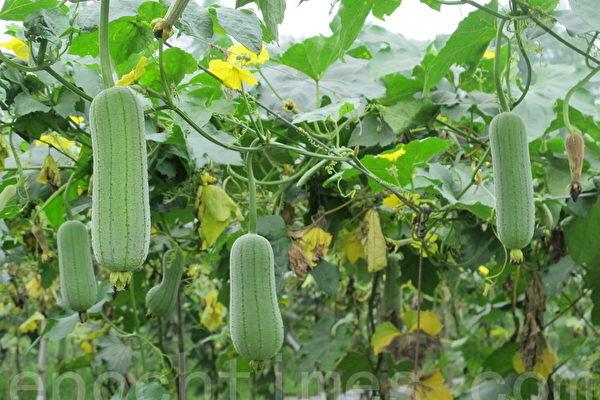絲瓜既可美白抗皺又抗癌,一條條翠綠的絲瓜,掛在瓜蓬上。(廖素貞/大紀元)