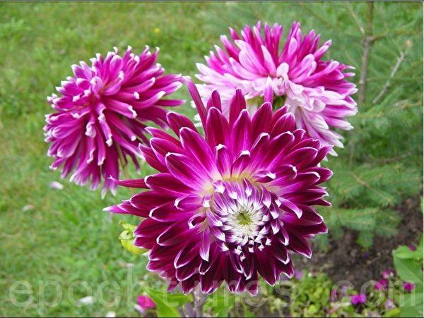 去年在家门前种的大丽花,这已经是过去的记忆了。(李文笛/大纪元)