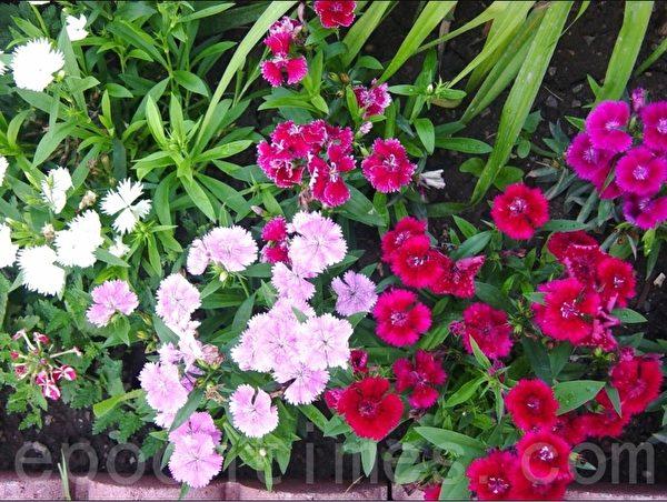 整个夏天一直开花的石竹花也是我喜欢的花。搬家时我也做了调整,让花从哪个角度看都成行,盛开的搭配得当的各色石竹花得到邻居的一致夸奖。(李文笛/大纪元)