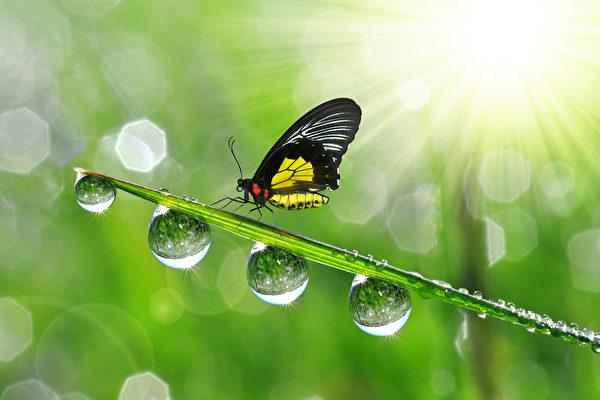 白露時節,清晨時分會發現地面和葉子上有許多露珠,這是因為夜晚水氣凝結在上面形成露水。古人以四時配五行,秋屬金,金色白,故以白形容秋露,稱為「白露」。(fotolia)