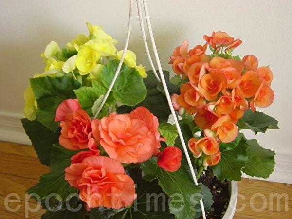 鲜艳亮丽的海棠花是我最喜欢的花。我用买来的海棠花苗搭配了许多吊花,这是其中一盆。(李文笛/大纪元)