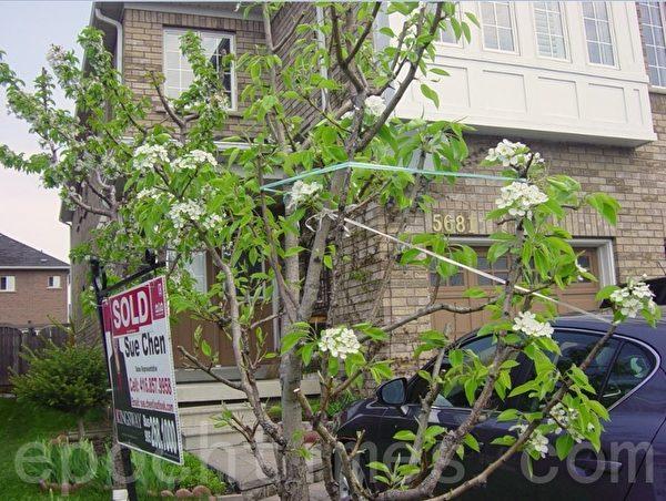 今年我按照亲家的指点对梨树大剪枝,剪枝后的梨树比往年开花都多。此时,地里的燕尾兰和石竹花都在含苞欲放。(李文笛/大纪元)