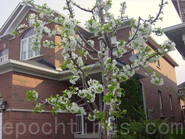 今年我按照亲家的指点对樱桃树大剪枝,剪枝后的樱桃树比往年开花都多。可惜当收获樱桃的时候,我们已经搬走。(李文笛/大纪元)