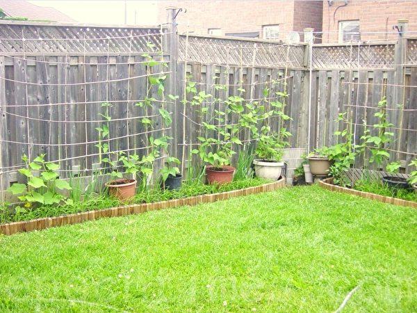 经过几年的开垦,到2014年,沿后院围院墙边开垦的(大约0.7-0.8米宽)菜地已经竣工。别看菜地不大,但是种的东西很全:芸豆、黄瓜、辣椒、葱、韭菜,还有玉簪花。我搬家前把篱笆都拆了,韭菜移走,留下了葱,种上了石竹花。(李文笛/大纪元)