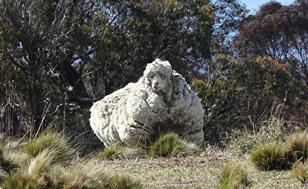 在澳大利亚首都堪培拉附近,发现一只走失的硕大长毛羊,羊毛长得已经使这只羊挣不开眼。(AFP/RSPCA)