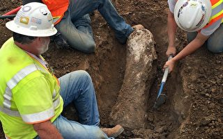 建筑工人在工地上发掘出远古猛玛象的巨型化石。(图片由Cornerstone Communities提供)