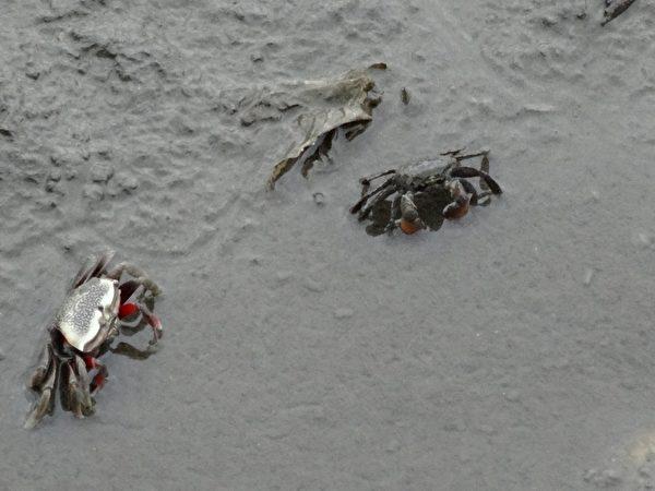 泥地里,招潮蟹军团正忙碌疾行。(琼慧/大纪元)
