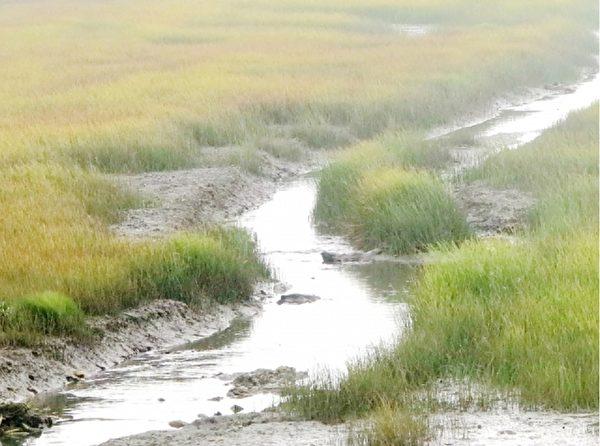 """濒临绝种的""""云林莞草""""在高美湿地孕育著多元的底栖生物。(大纪元)"""