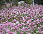 珀斯国王公园每年庆典的一个特色是大片的粉红色永恒花。图为2014年国王公园永恒花花景。(林文责/大纪元)