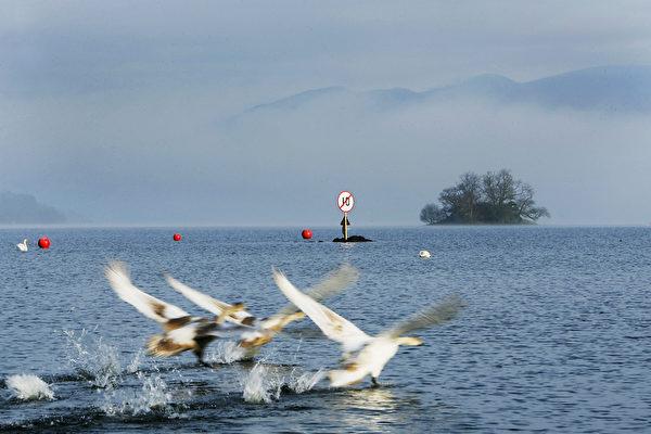 英格兰温德米尔湖上戏水天鹅。(Bryn Lennon/Getty Images)