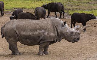 年屆41歳已進入老年期的諾拉是世界上僅有的四頭北部白犀牛之一。(圖片由San Diego Zoo提供)
