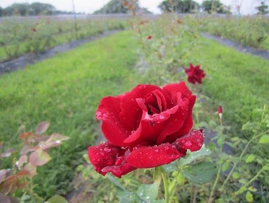 大花有機玫瑰含豐富天然的花青素和濃郁香甜的味道(大花有機農場 提供)