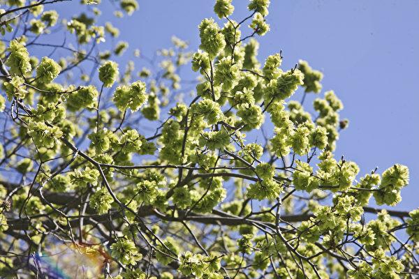 榆树花开了。(伊罗逊/大纪元)