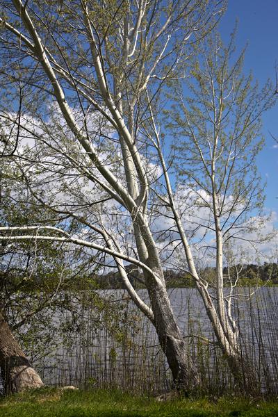 现在正值南半球大地回春的季节,澳洲的杨树花随着春风悄悄吹过岸边。(伊罗逊/大纪元)