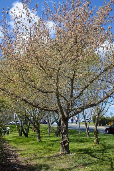 现在正值南半球大地回春的季节,澳洲的杨树树花随着春风悄悄吹过岸边坡路,(伊罗逊/大纪元)