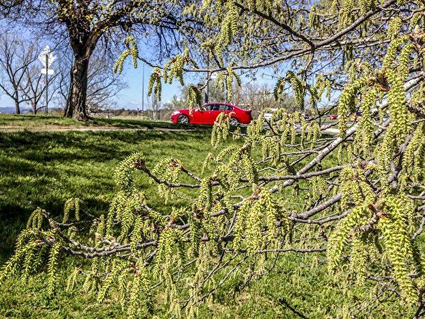 现在正值南半球大地回春的季节,澳洲的杨树花随着春风悄悄吹过岸边坡路,(伊罗逊/大纪元)