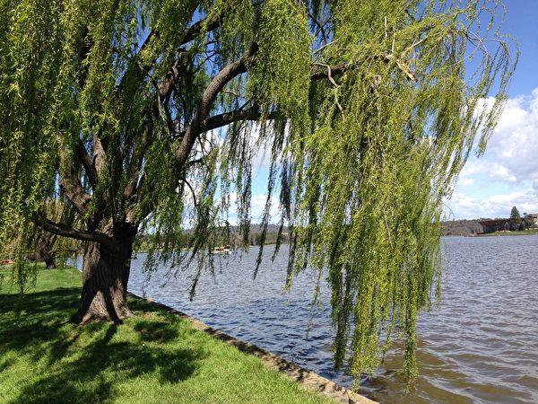 微风摇摆着柳枝给人们带来温暖的气息。(伊罗逊/大纪元)