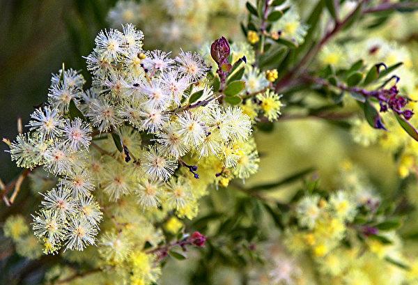 这是澳洲国花,生长在公路两边或原野村落。 (伊罗逊/大纪元)