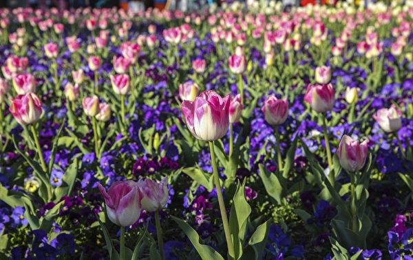 南半球最大的花展在澳大利亚堪培拉举行,进入了第28个年头。(伊罗逊/大纪元)
