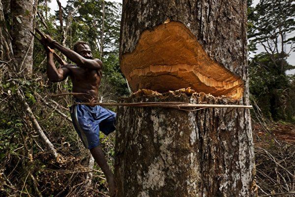 伐木工预计至2022年下滑比例是9%。(Brent Stirton/Getty Images)