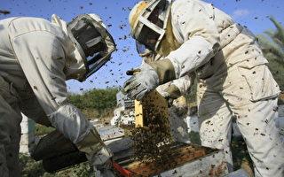 加州旱情深入 养蜂业被迫离开