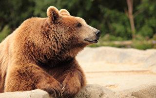 野熊闖入加州一家便利店內覓食 一週兩次