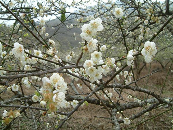 寶來竹林休閒農業區,每到元旦期間,漫山梅樹,蔚然成景。(高市六龜區公所提供)