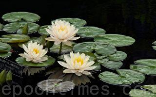 由长木公园园艺专家培养出来的白色热带耐寒睡莲(Hardy Waterlily)。 (鹭清/大纪元)