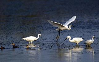 中美科學家在最新報告中警告,中國濕地面積的下滑在接近臨界閾值,低於這個閾值可能對生態系統帶來嚴重和持久的傷害——令無數的候鳥物種瀕臨滅絕並危及全世界20%的魚類。(China Photos/Getty Images)