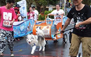 流浪狗哈士奇雪橇大赛 。(三星乡公所提供)