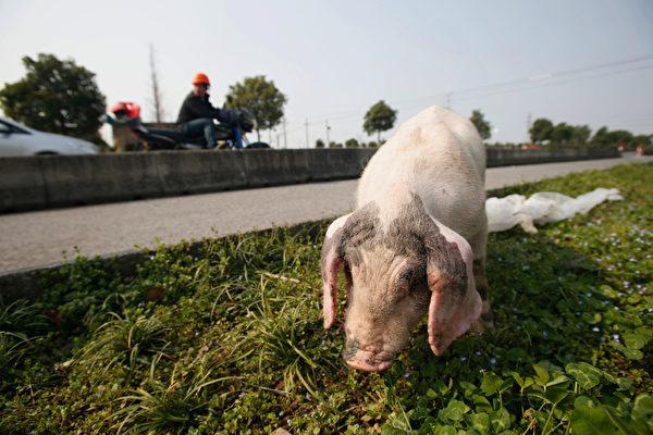 猪肉一直是大陆百姓消耗量最大的肉类食品之一,巨大的需求量使得养猪业急功近利,滥用激素、抗生素。图为浙江省嘉兴市一头被遗弃的病猪。(AFP)