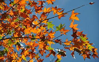 奥万大森林游乐区清枫转红,赏枫季到了。(南投林管处提供)