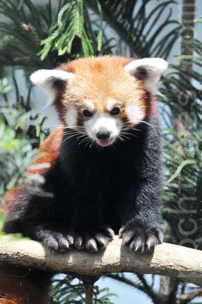"""11月21日晚上﹐1岁大的小熊猫""""咖喱"""",失踪三天后被找到﹐并被安全带回到动物园。图为小熊猫。(孙明国/大纪元)"""