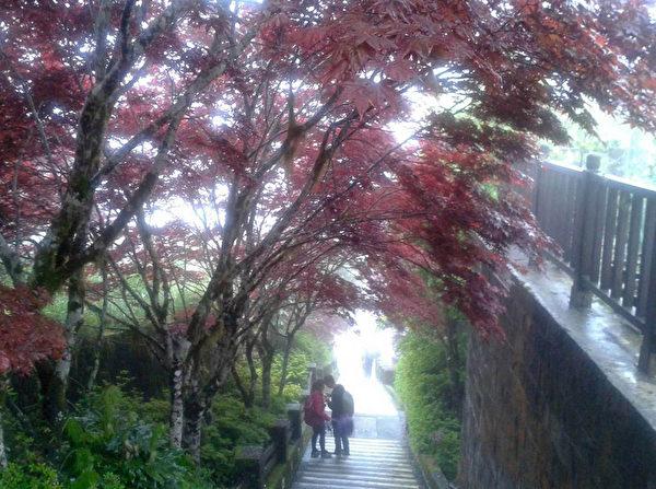 宜兰太平山国家森林游乐区类似枫叶的紫叶槭,日前开始火红,呈现异国风情,景致可维持到10月。(林务局提供)