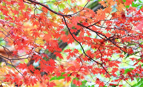韩国京畿道北汉山国立公园,以其秀丽的山势及临近首都的优势,成为市民喜欢去的地方。10月末北汉山的秋景更是耀眼。(全宇/大纪元)