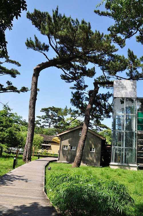 长年海风吹袭造成的松树树干弯曲。前方为后栋建筑,规划为松园 餐坊,提供餐点与下午茶服务游客。 (图片提供:tony)