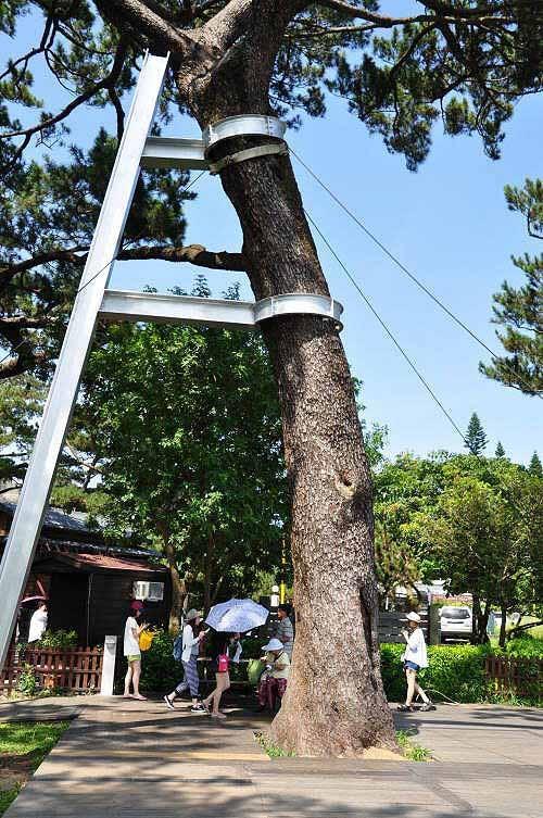 松园别馆,入场费用50元,园内高大的松树。 (图片提供:tony)