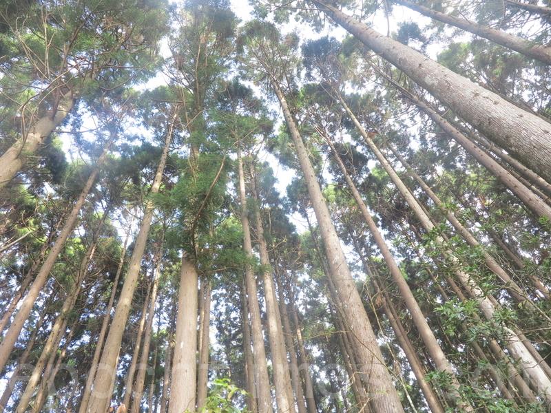 雪覇休閑農場の野馬瞰山森林歩道の近くにある高いスギの木(頼瑞/大紀元)