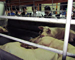 防檢局表示,屠宰業開放外籍勞工,可以緩解勞動力缺乏問題。圖為貨車上待宰的豬隻。(屏東縣政府提供)