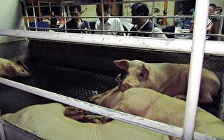 防检局表示,屠宰业开放外籍劳工,可以缓解劳动力缺乏问题。图为货车上待宰的猪只。(屏东县政府提供)
