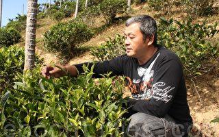 中年轉業有機茶農   王證程師法自然